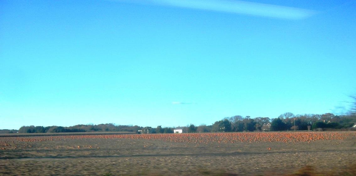 パンプキン畑のように見える農地。